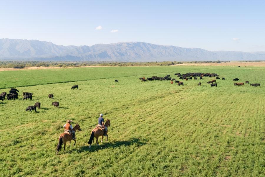 caballos criollos ganado